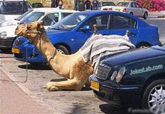 funny camel parking with a parking slot
